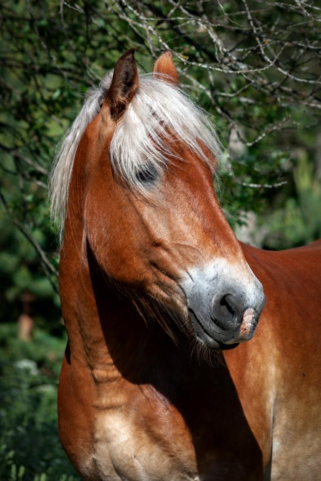 Arma Ratsutalun hevoset elävät laumassa.