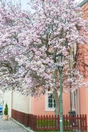 Strahovinluostari magnolia